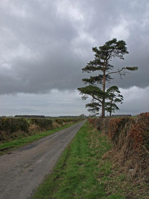 Scots Pines near Scotsfields Farm