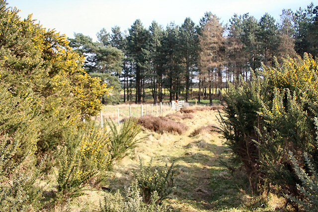 Gorse on Weather Heath