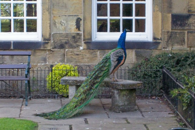 Peacock at Whitley Hall Hotel