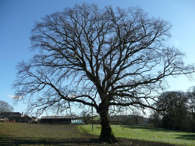 Oak tree at Horsehill