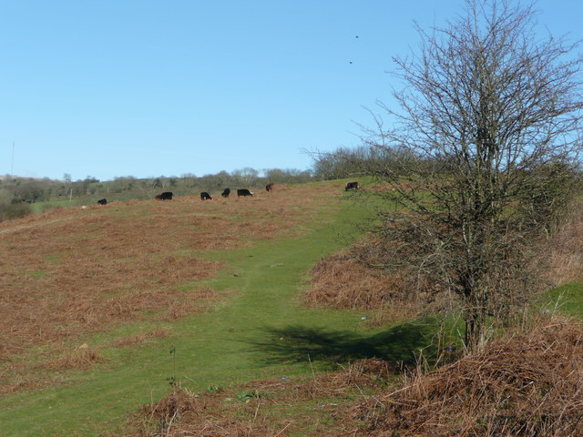 Beef cattle on Knowle Down