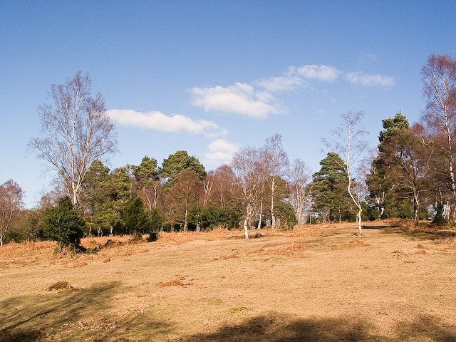 Silver Birches near Ocknell Camping Site, New Forest