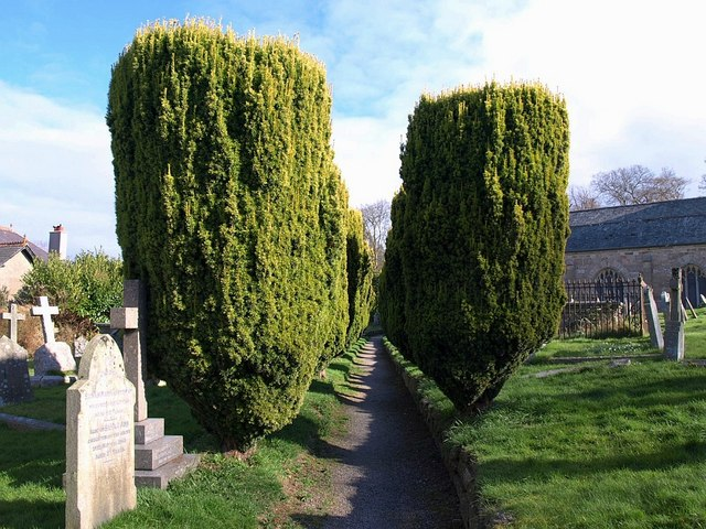 Yews, Chagford churchyard