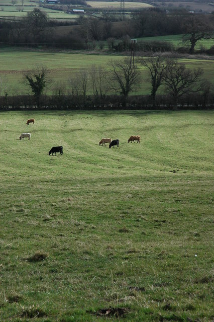 Cattle grazing, near Alstone