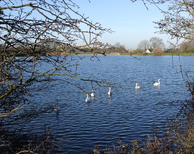 Swans on Tringford Reservoir