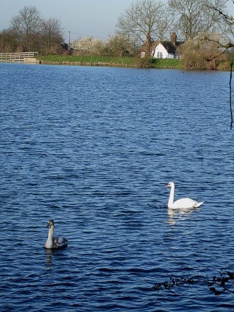 Swan & Cygnet, Tringford Reservoir