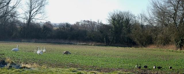 Swans & Ducks in a field