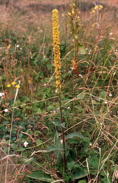 Dark Mullein (Verbascum nigrum), Hightown