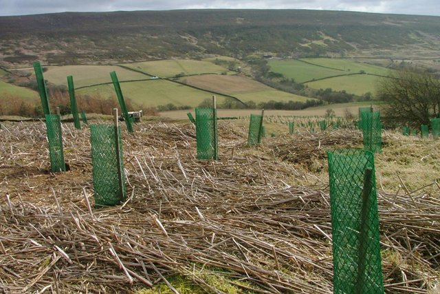 Young Plantation, Cringle Moor