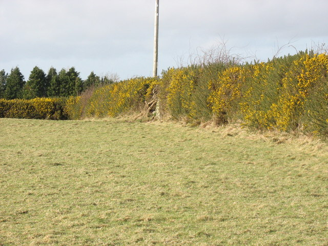 Gorse hedges at Bryn Llan Farm