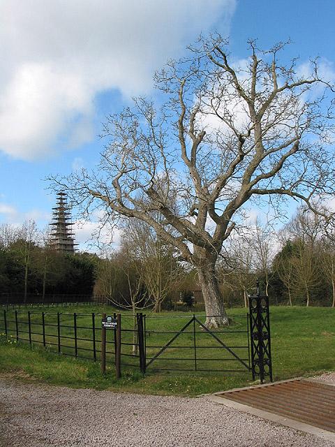 Winter tree at Eldersfield