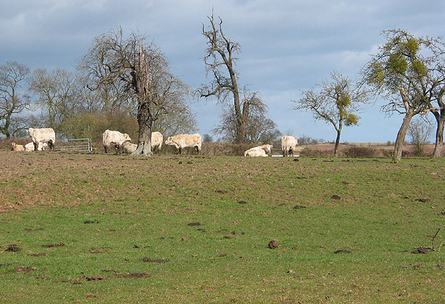 Cattle in the orchard