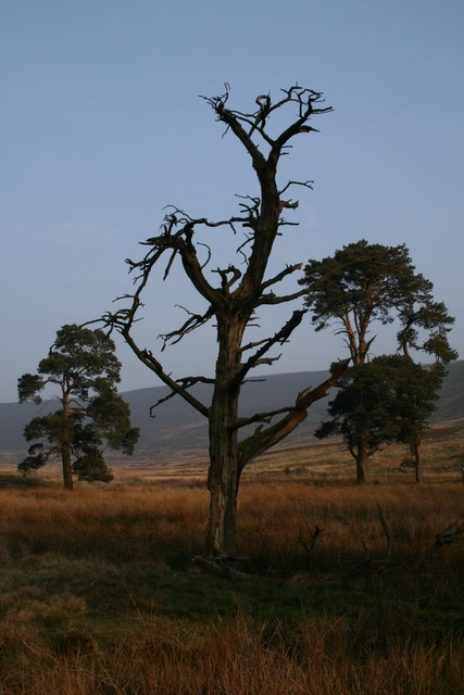Dead tree on the Black Clough track