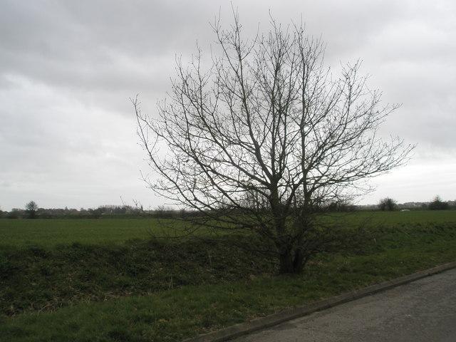 Tree on edge of Common at Newells Lane, Bosham