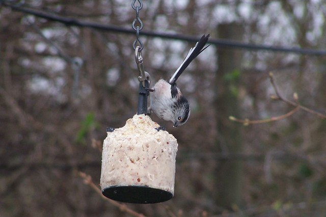 Long Tailed Tit at Old Moor
