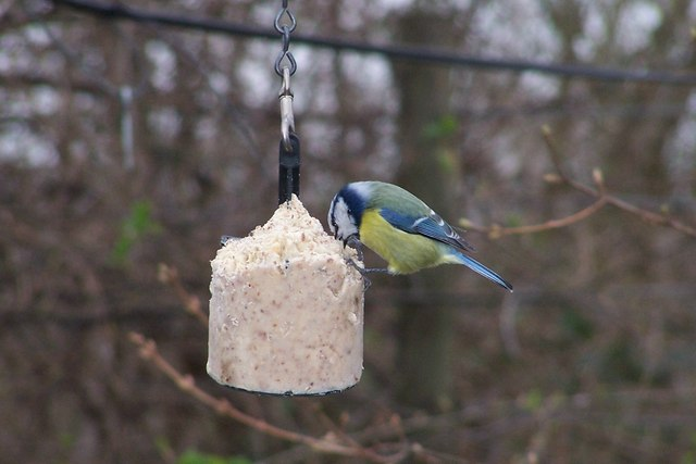 Blue Tit at Old Moor