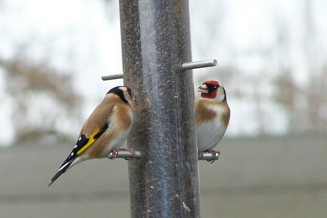 Goldfinches at Old Moor