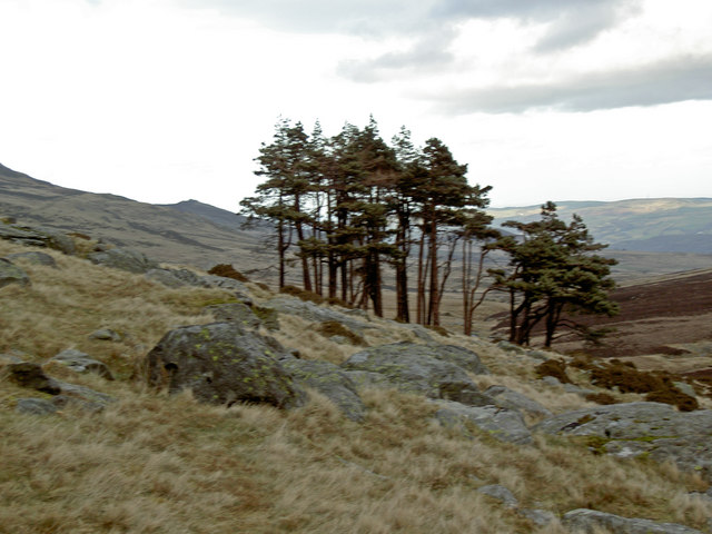 An isolated stand of pine trees