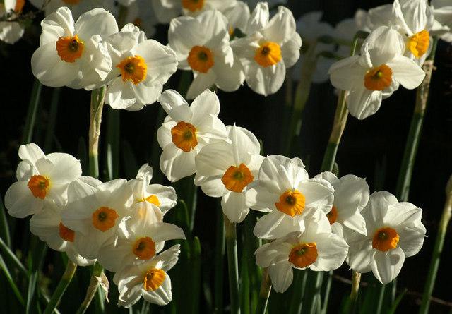 Narcissi, Melling