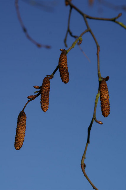 Catkins on Birch (Betula sp.), Melling