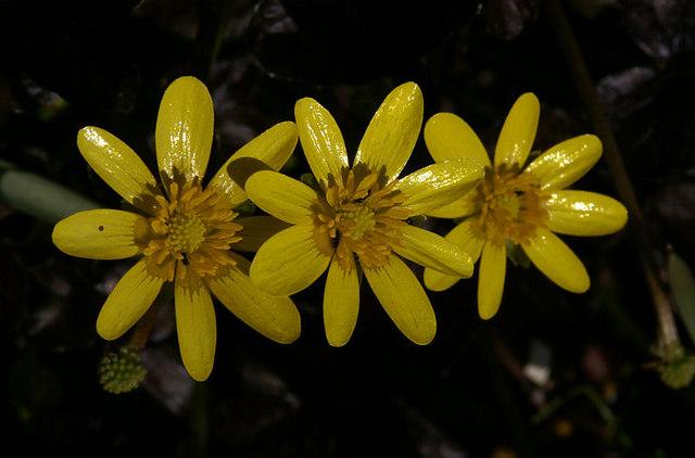 Lesser Celandine (Ranunculus ficaria), Melling