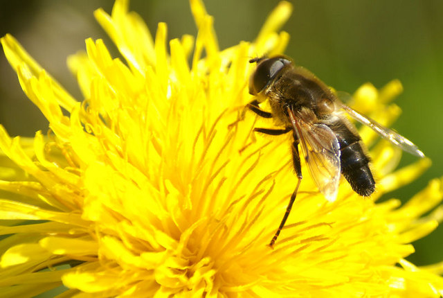 The hoverfly Eristalis pertinax, Baltasound
