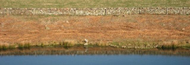 Heron by pond, Humbleton Hill