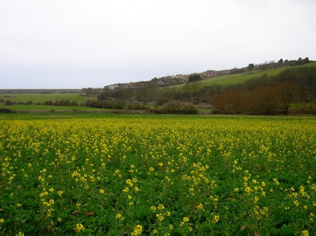Flowering Rape, Bishopstone