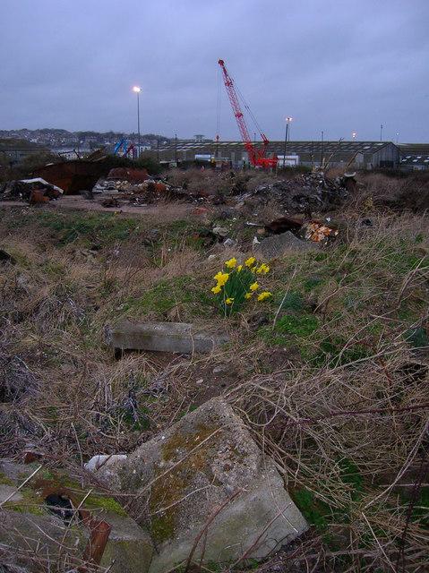 Daffodils Amongst the Debris