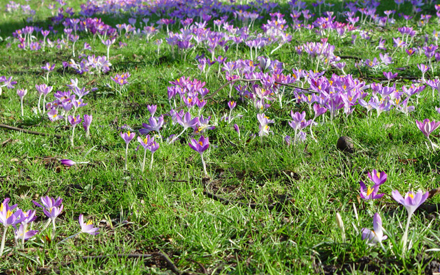 Crocus Time, Westbourne Avenue, Hull