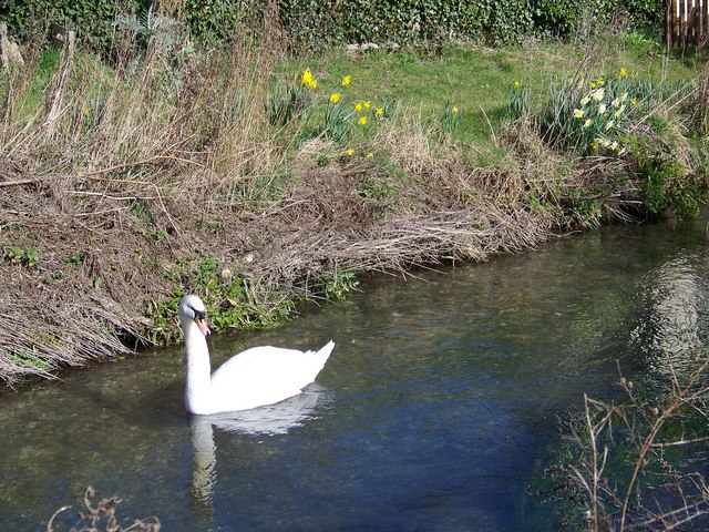 Swan on the River Ebble