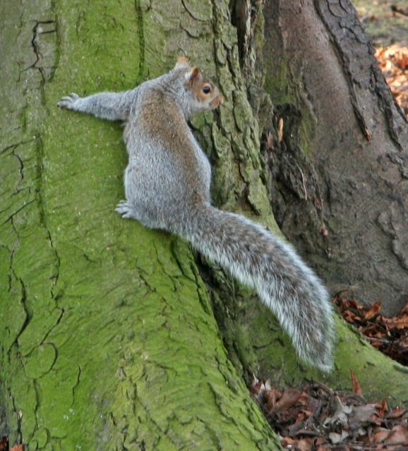 A squirrel, Pearson Park, Hull