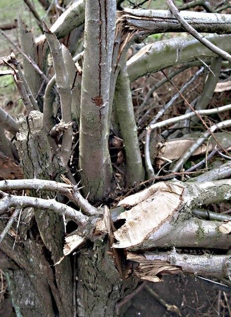 Newly cut hawthorn hedge