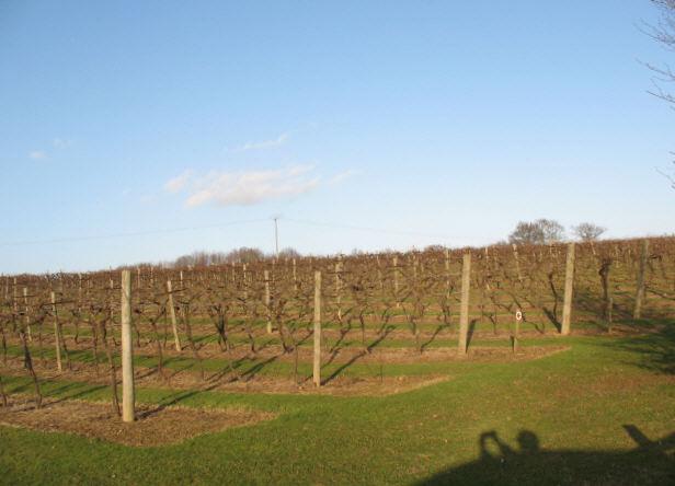 Biddenden vineyard in winter