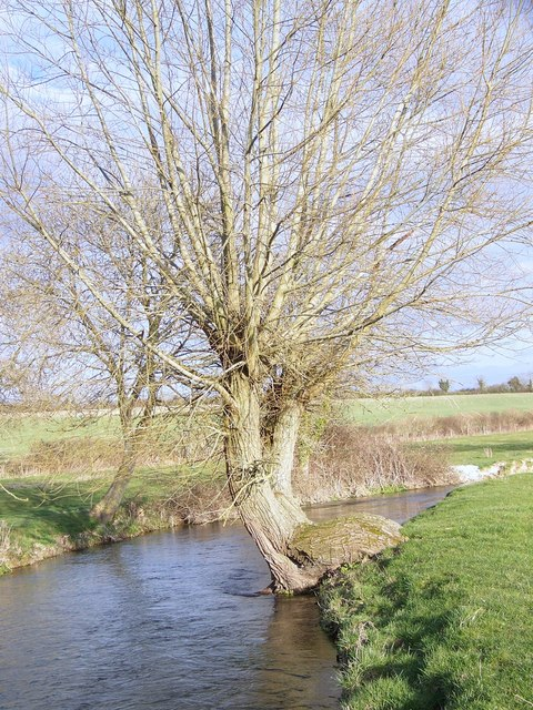 Willow tree beside the River Ebble, Odstock