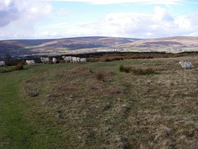 Sheep on Mynydd Garnclochdy