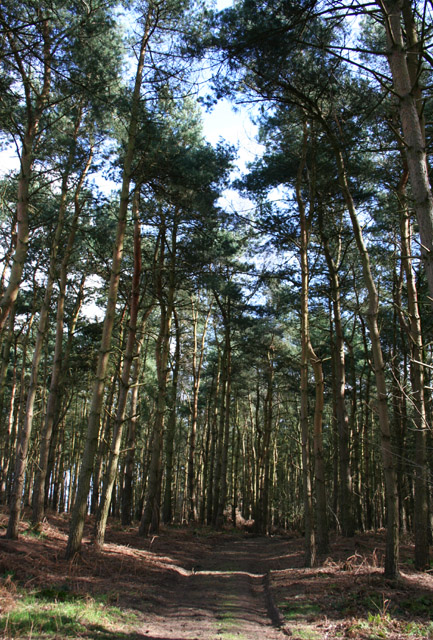 Conifers at Peckforton Moss
