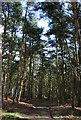 SJ5455 : Conifers at Peckforton Moss by Espresso Addict