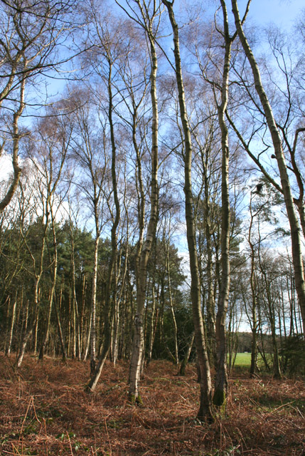 Birches at Peckforton Moss
