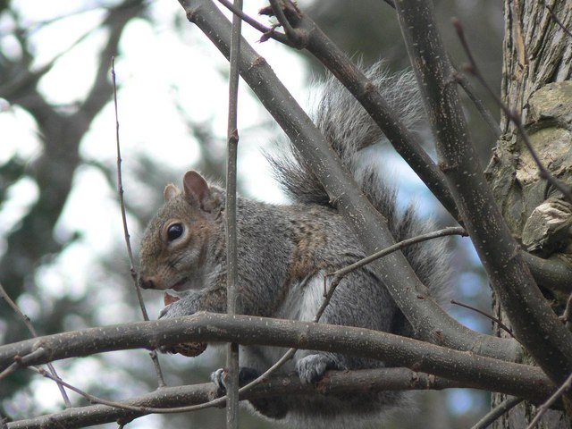 A squirrel enjoys a nut