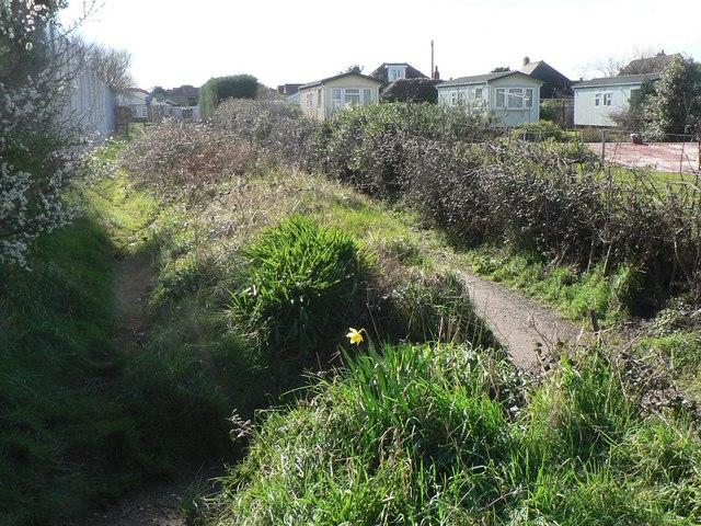 Wick: solitary daffodil in Wick Lane