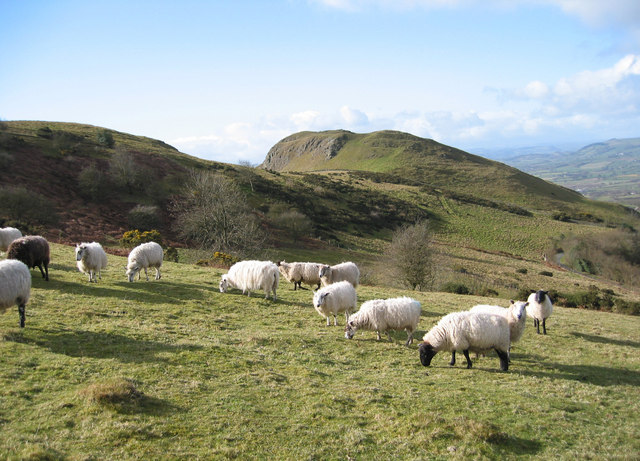 Grazing flock near Roundton Hill