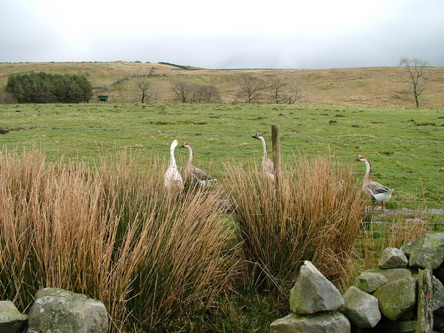 Geese on Grisedale Moor