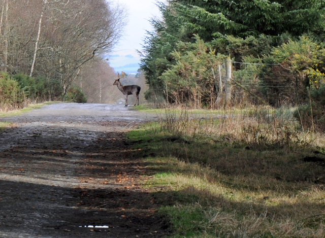 Buck crossing forest track