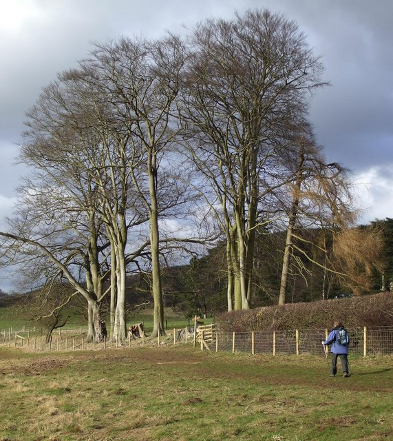 Ancient Copse of Beeches