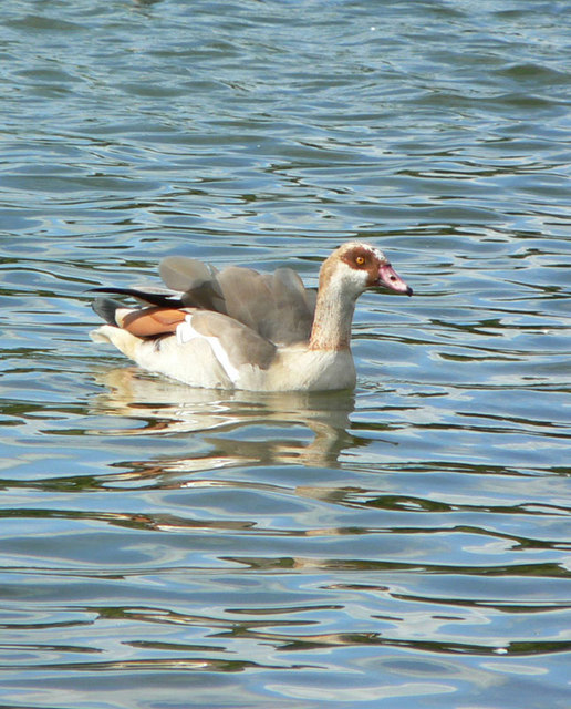 Rare Egyptian Goose at Decoy Country Park