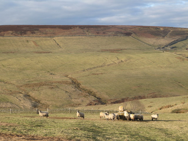 Hungry sheep near Whitelees
