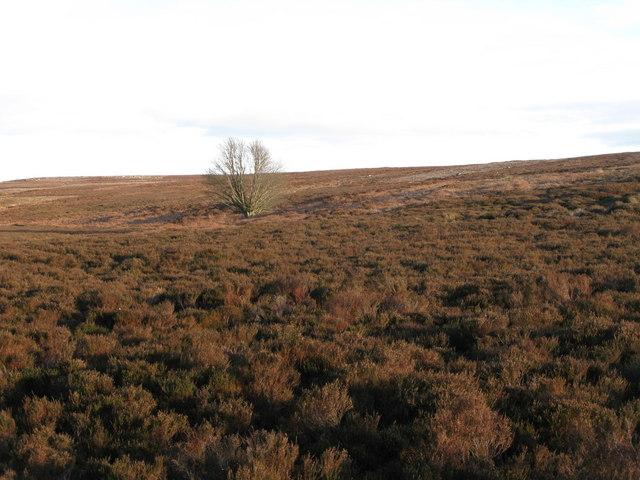Lone tree on Ruffside Moor