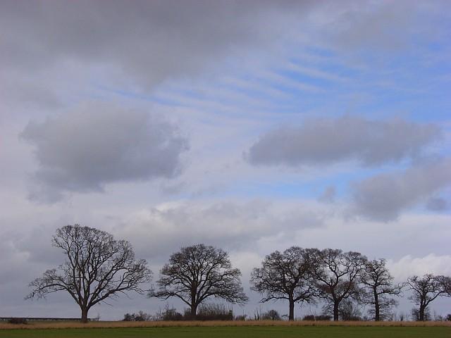 Oak trees, Stoke Talmage