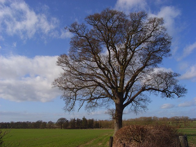 Oak, Shirburn